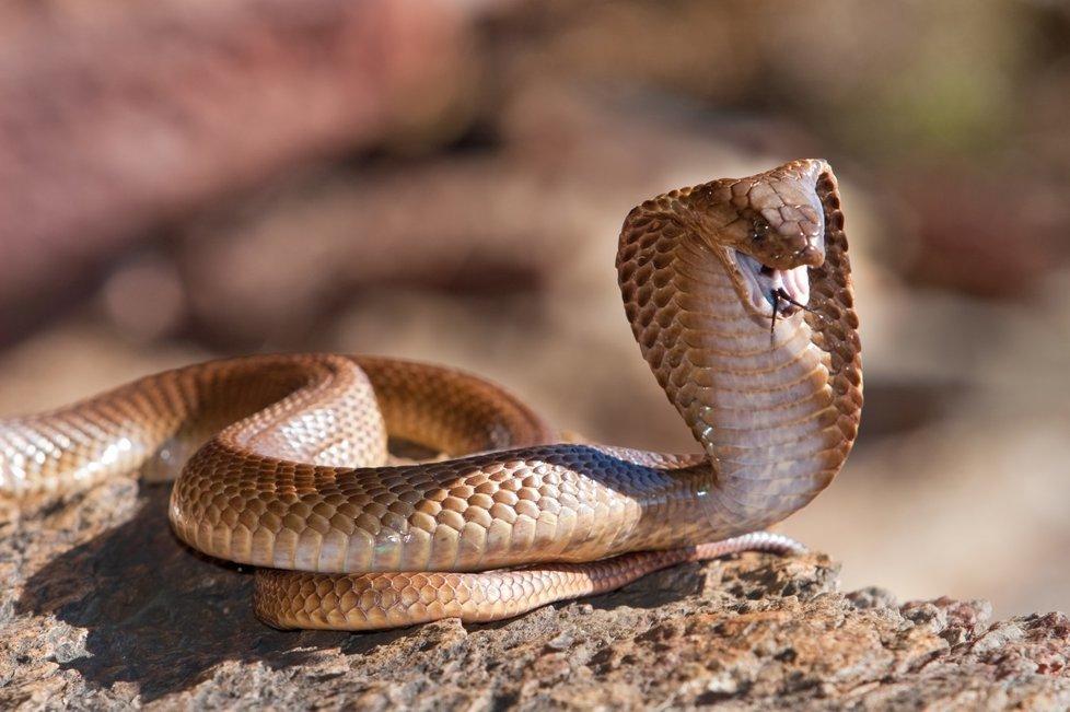 портретов вообще как выглядит королевская кобра фото приемлемые варианты проживания