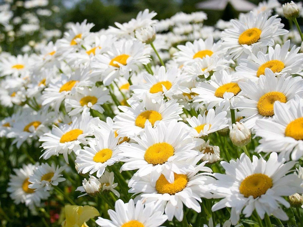 Фото красивые ромашки в поле, открытка для
