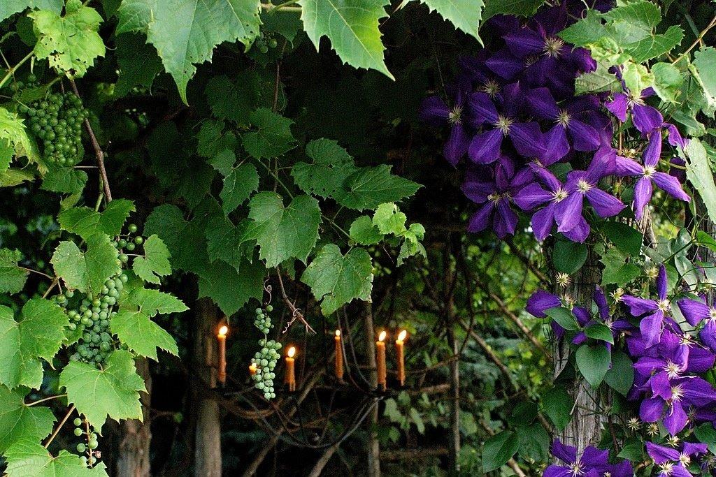 многолетние лианы для сада фото и названия балконов
