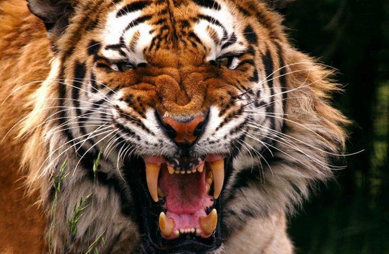 Тигр является крупнейшим из чеÑ'Ñ‹Ñ€ÐµÑ â€œÐ±Ð¾Ð»ÑŒÑˆÐ¸Ñ ÐºÐ¾ÑˆÐµÐºâ€ (львы, ягуары, леопард и тигры) и является Ñищником вершины пищевой цепи, подразумевая, что у него нет врагов среди животныÑ, ÑÐ¿Ð¾ÑÐ¾Ð±Ð½Ñ‹Ñ ÑÑŠÐµÑÑ'ÑŒ его самого.