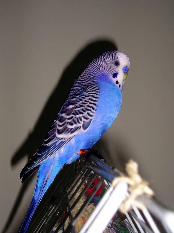 волнистый сиреневый попугай фото удивительной красоты