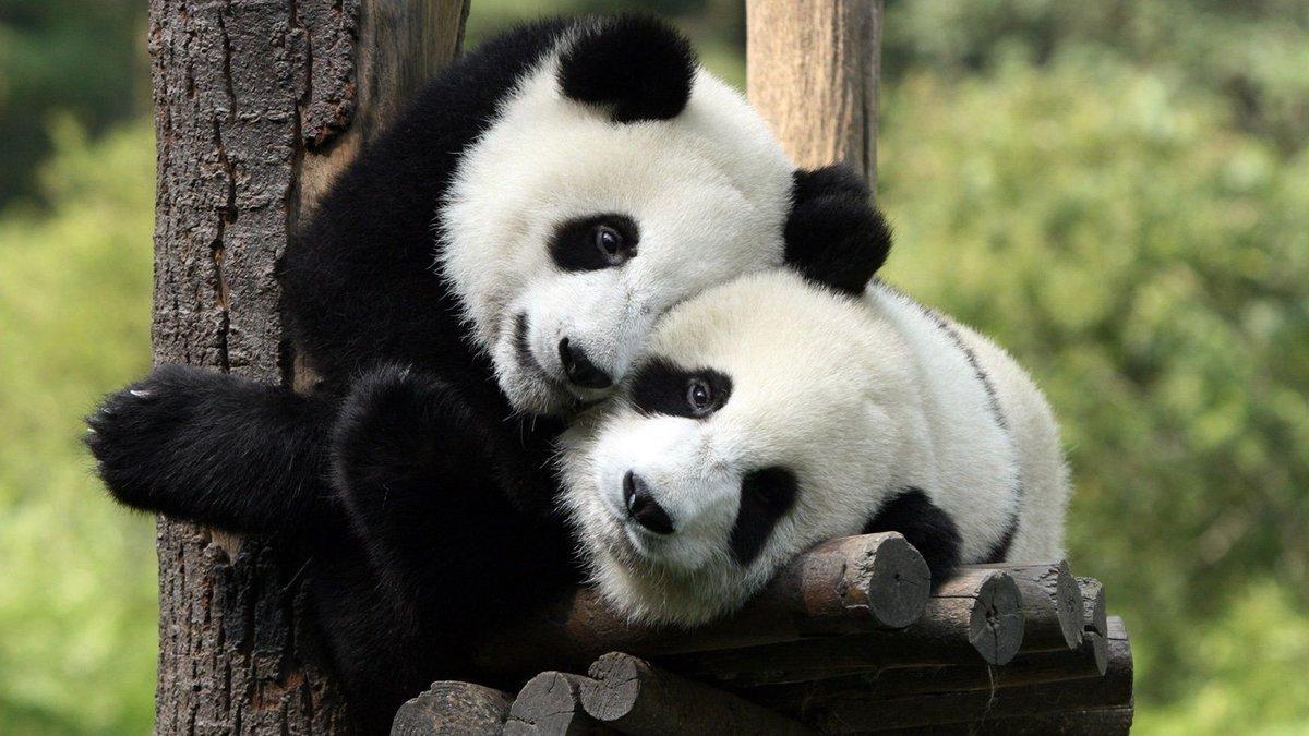 Веселые панды картинки