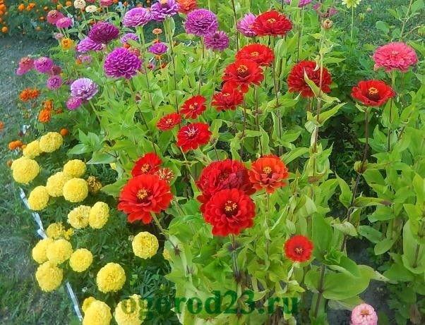 Однолетние цветы цветущие все лето без рассады название и фото