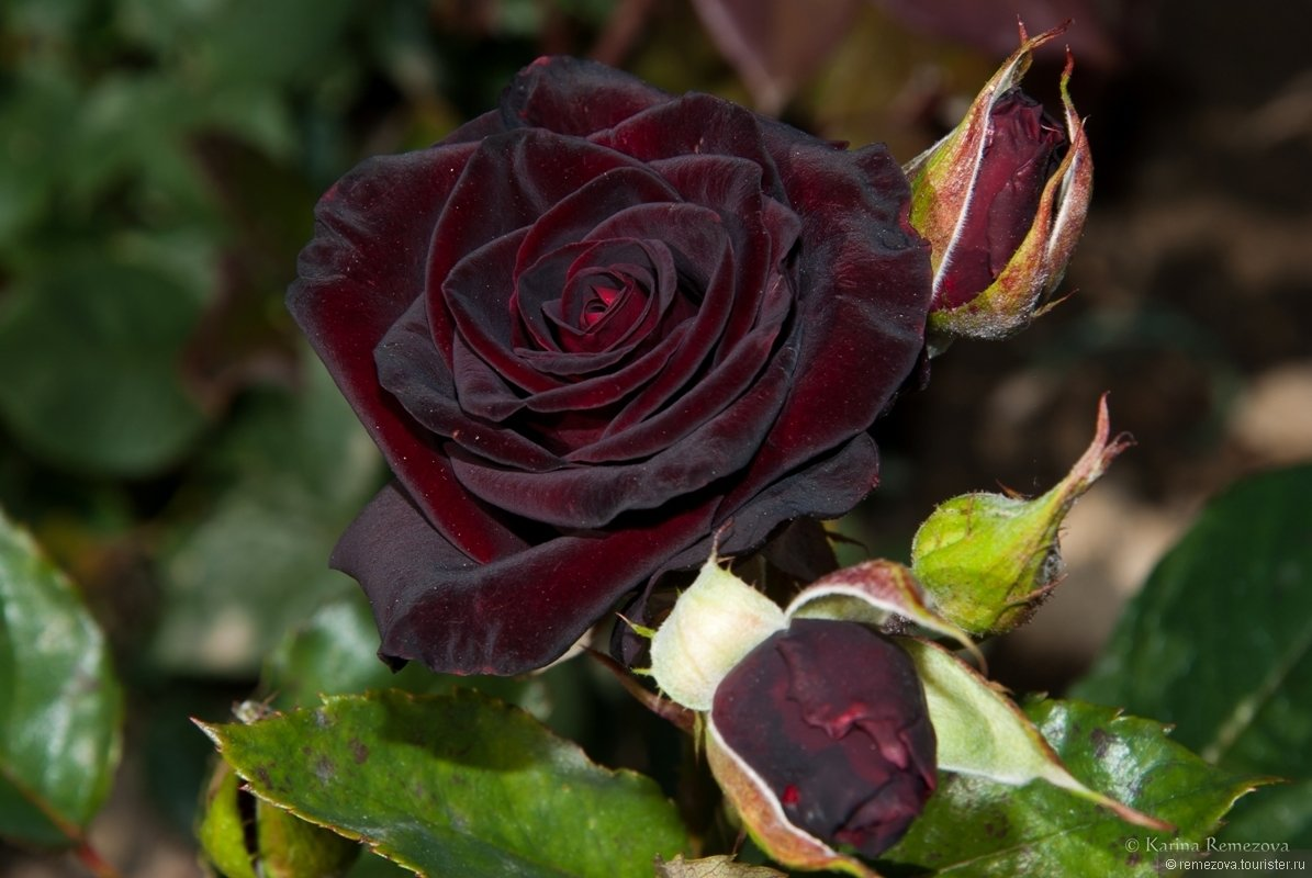 каната розы блэк бордо фото нос моркови