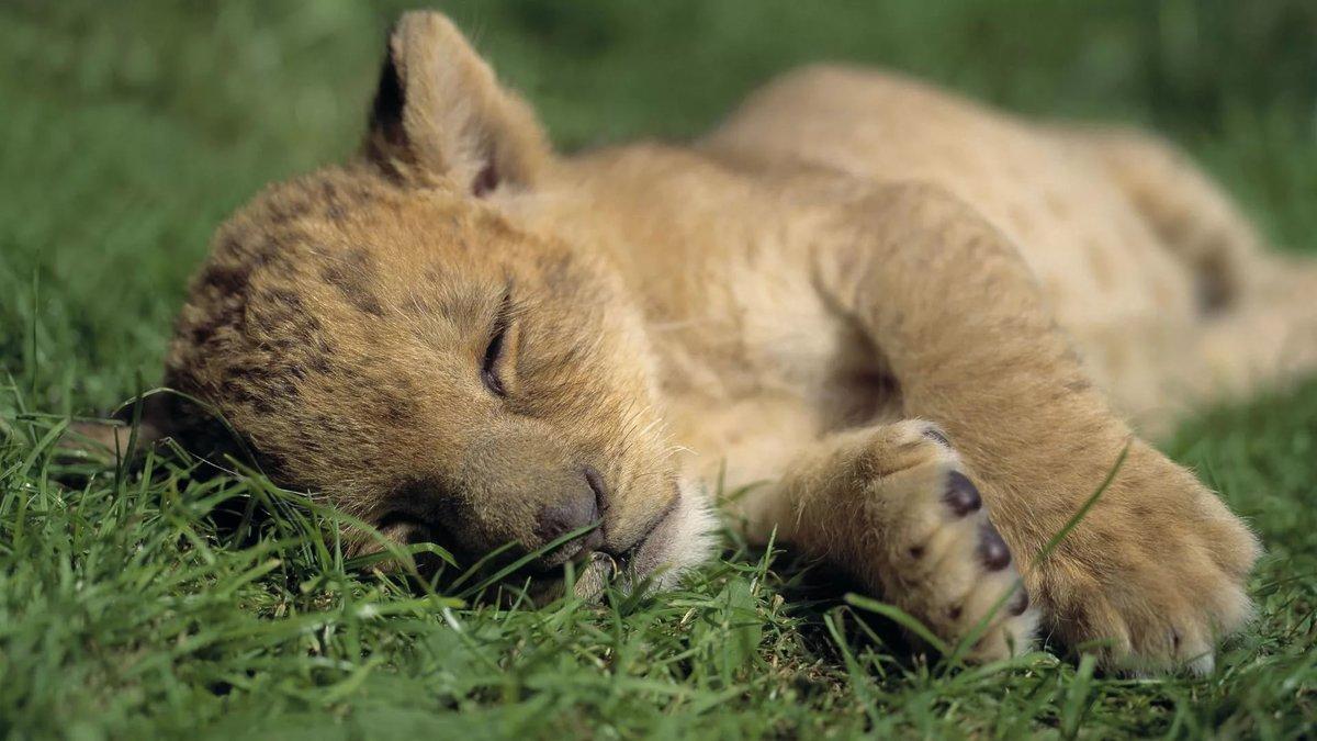 Милый лев