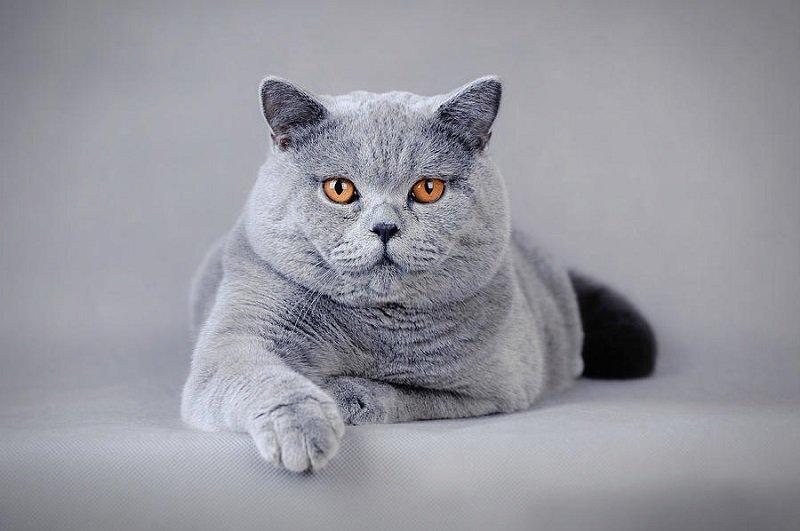 Британская короткошерстная – одна из самых древних пород кошек.