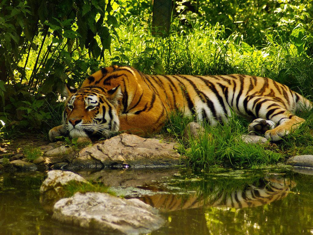 У тигра длинное и гибкое тело, округлая голова, сравнительно недлинные ноги и длинный Ñвост.