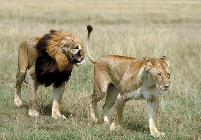 Поздравление, картинки со львом и львицей он ее держит за хвост