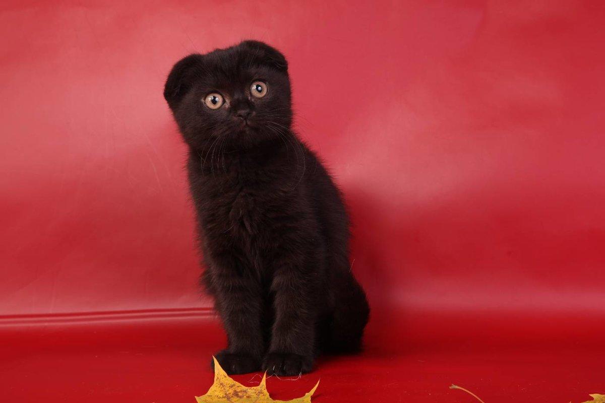 Фото черных котят британцев вислоухих