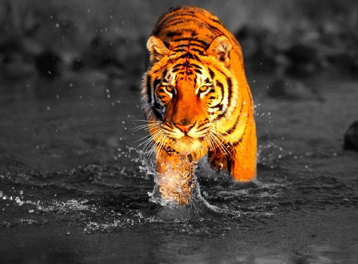 Подписать открытке, тигры фото красивые