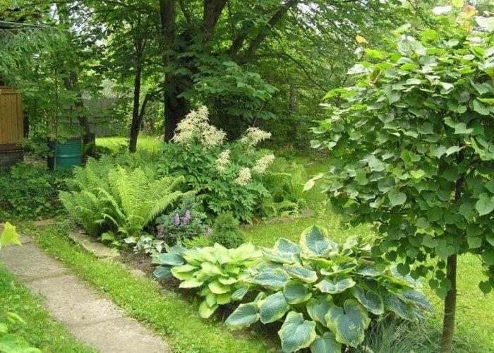 фото волжанка растение