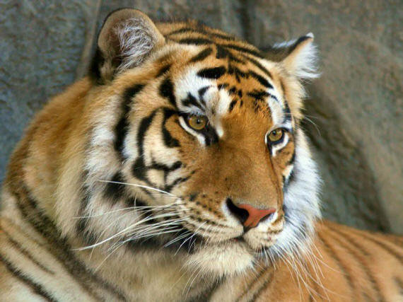 Фото молодого тигра