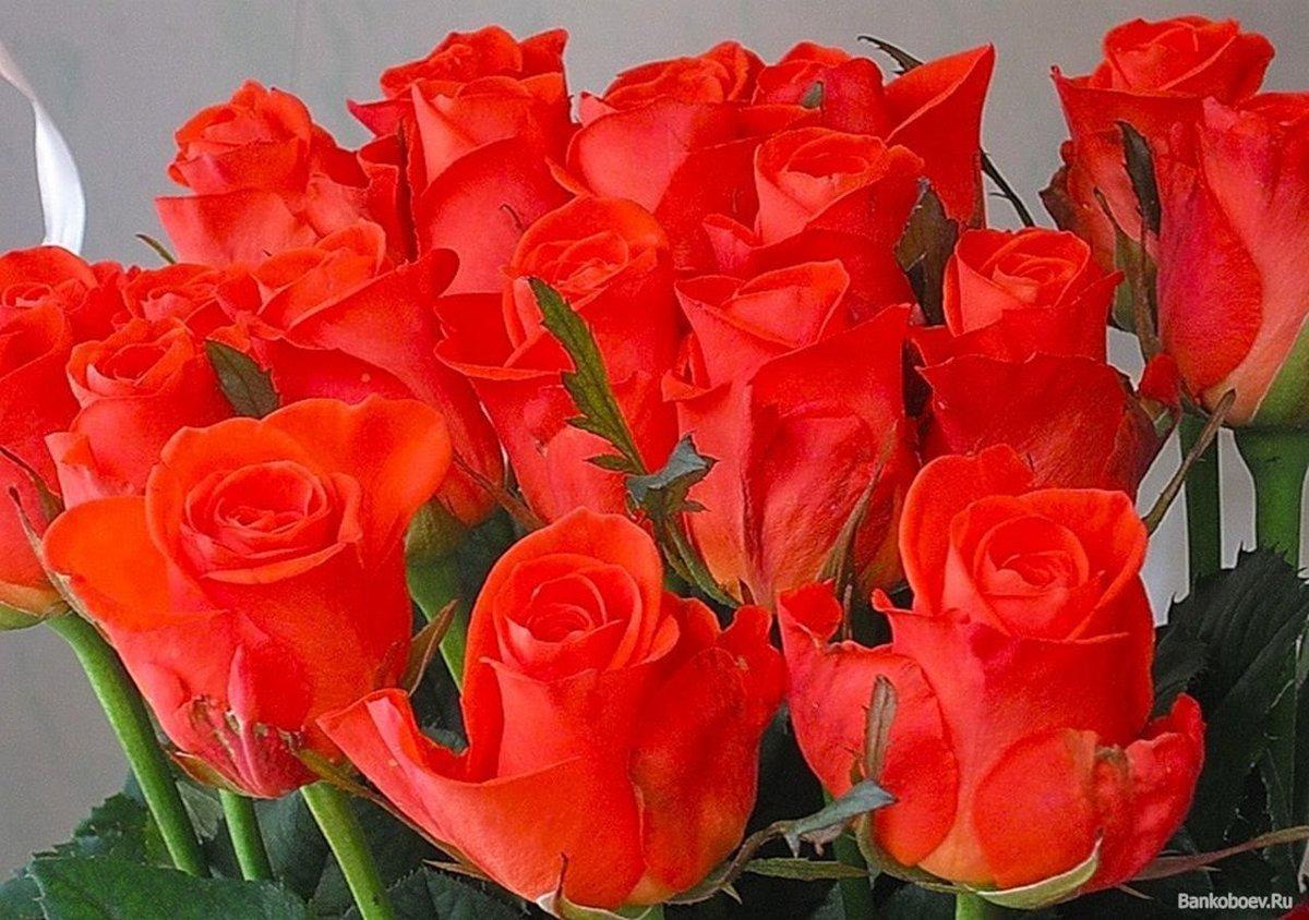 Красивые открытки розы алые, открытка поздравления шаблоны