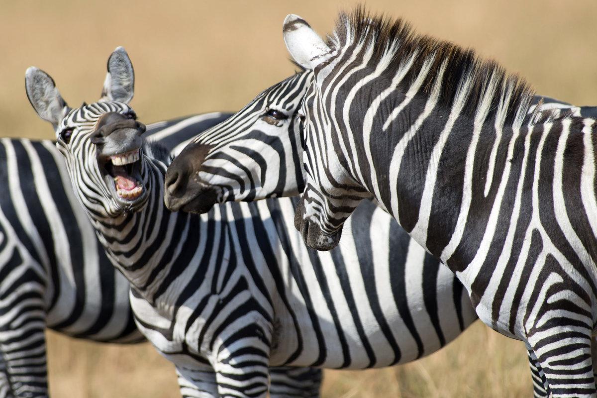 сих пор смешные картинки про зебру специалистам