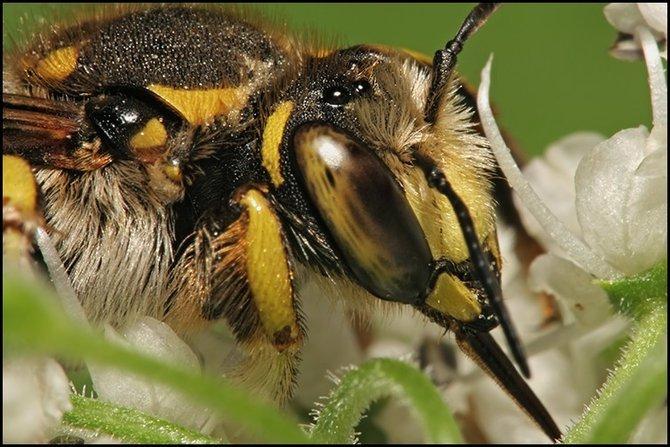пчела, обитатель лесов и полей