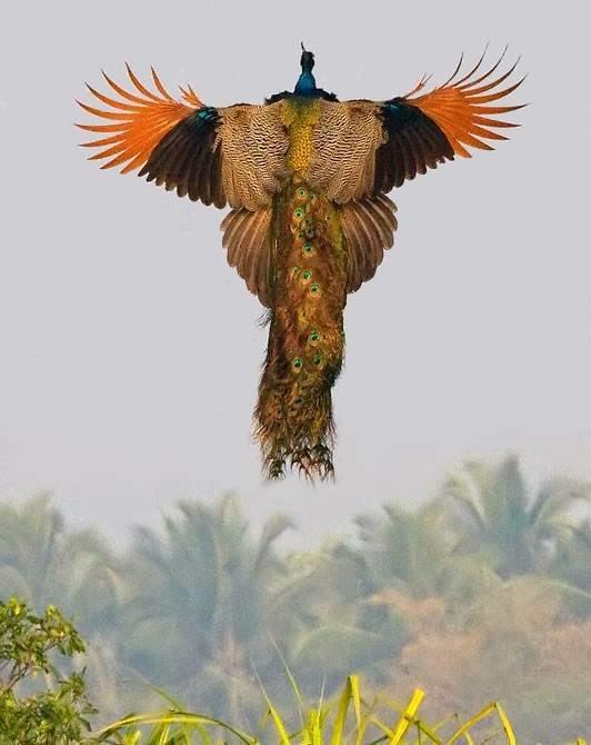 При надвигающейся опасности обыкновенный павлин может взлететь, но полет не будет долгим и высоким: лишь на несколько метров вперед.
