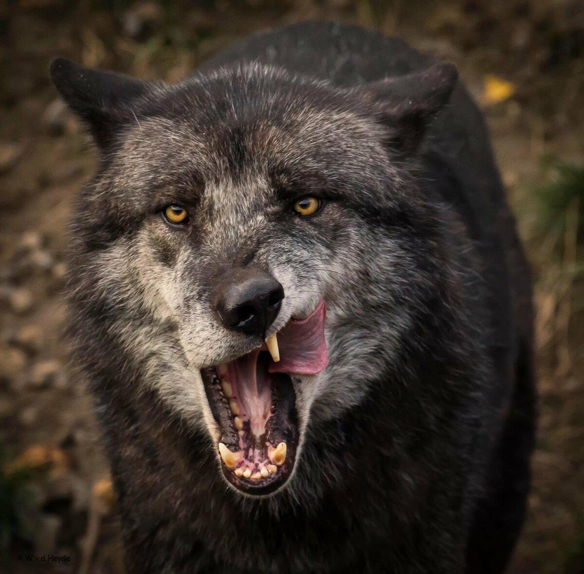 севском лучшие фото волчары для загрузки