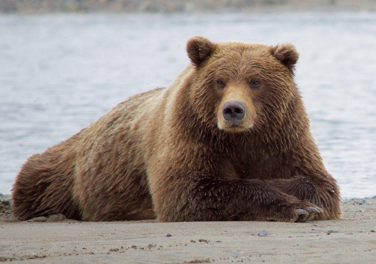 медведи картинки большого формата промолчатьт том, что
