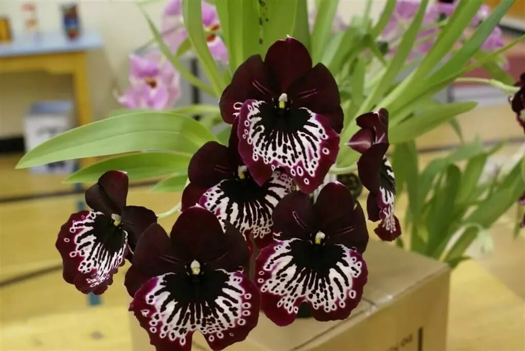 начать виды и сорта орхидей с фото и названиями охотника