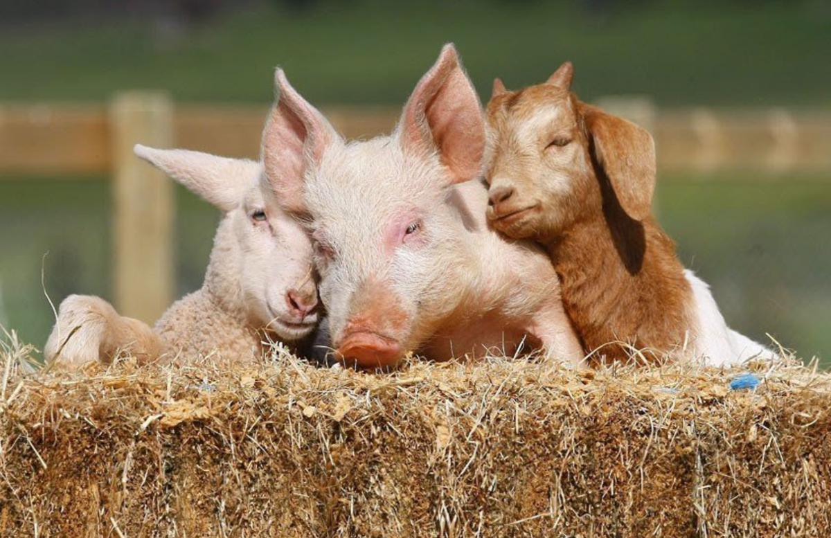 Прикольное картинки овцы и козы, картинки большим размером
