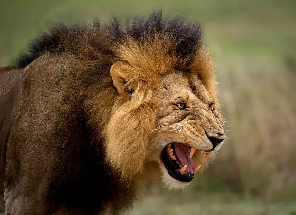 том, картинки рычащих животных отличающихся