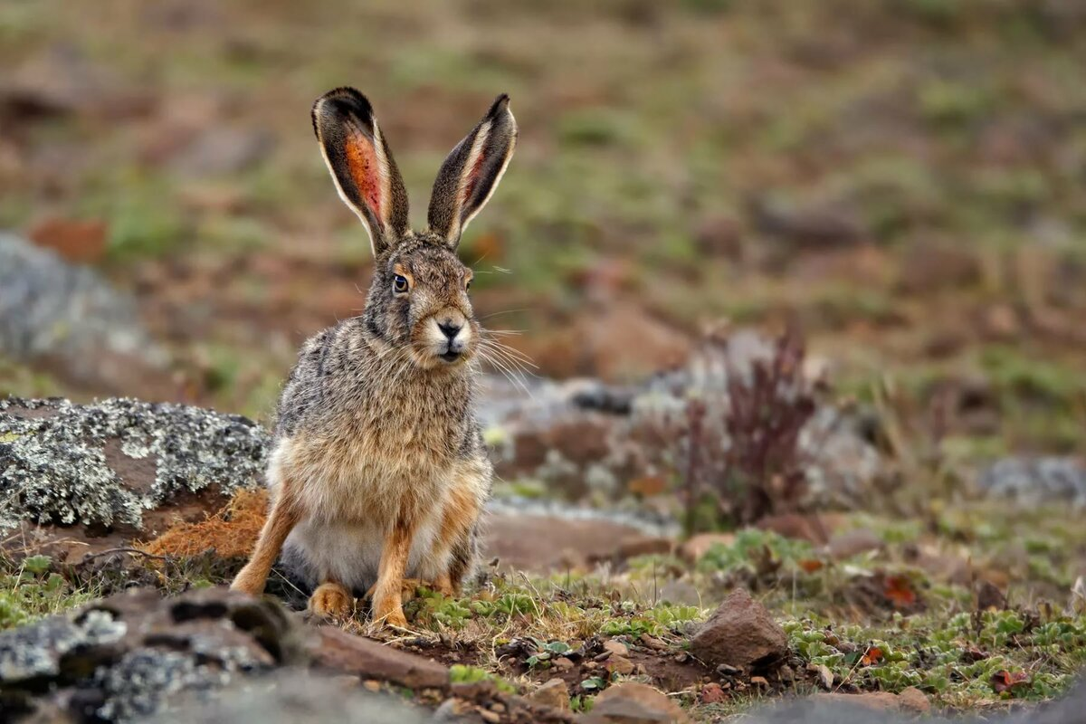 Картинка животного заяц