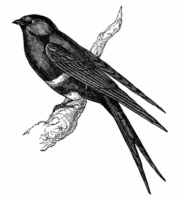 Стриж картинка птицы для детей