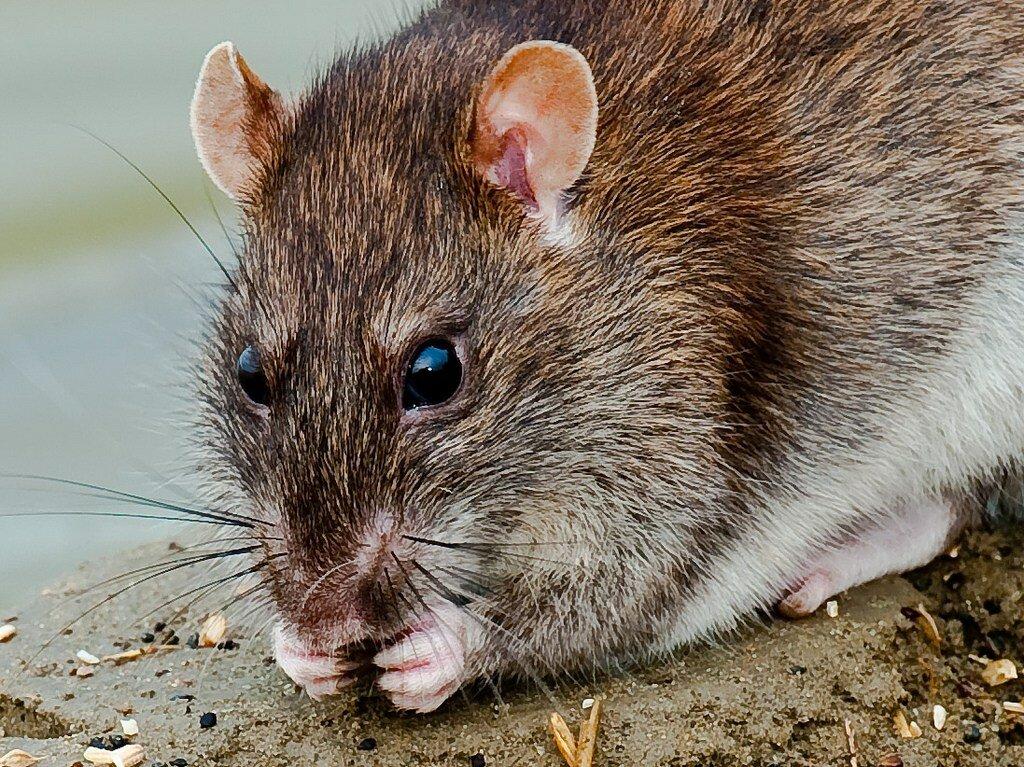 Крыса картинки фото
