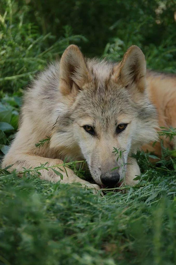 что фото волка альфа самца сделать