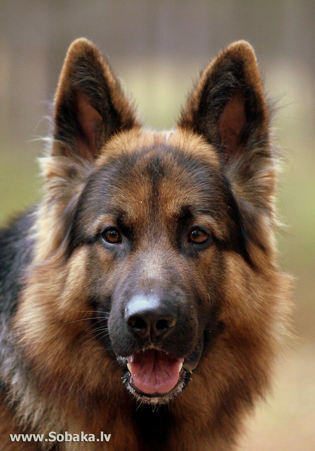Картинки про собаку овчарка