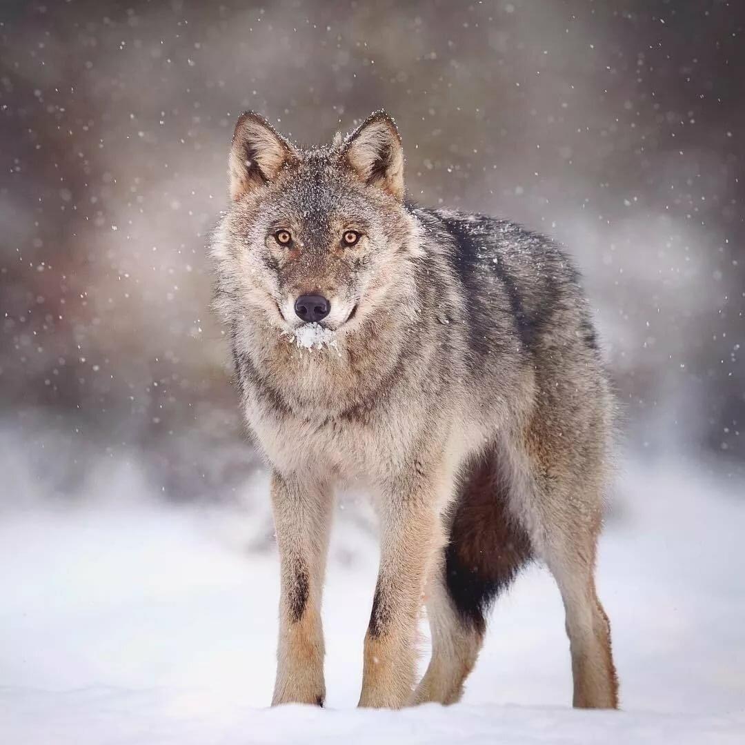 Красивые картинки воющих волков