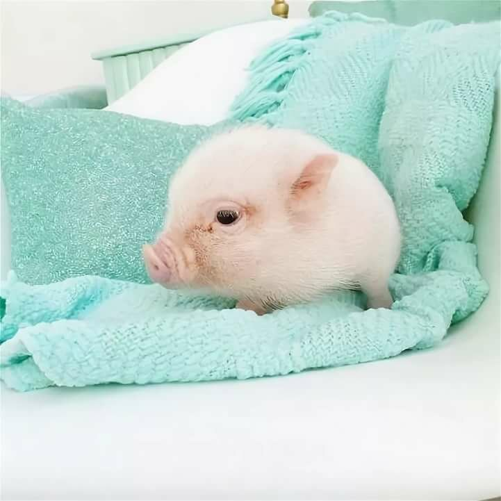Свинка милая картинка
