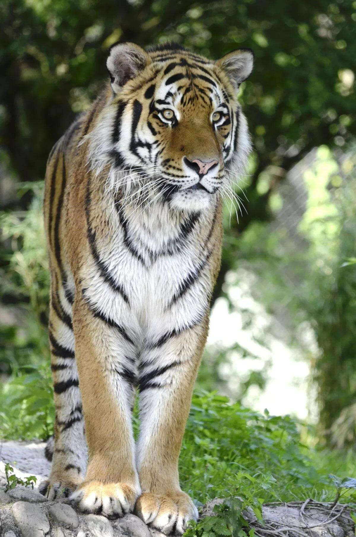 Картинки опасные тигры