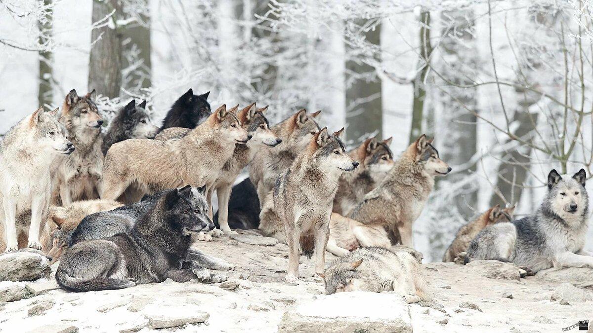 этого картинки стай волков для рабочего стола является готовым выполняется