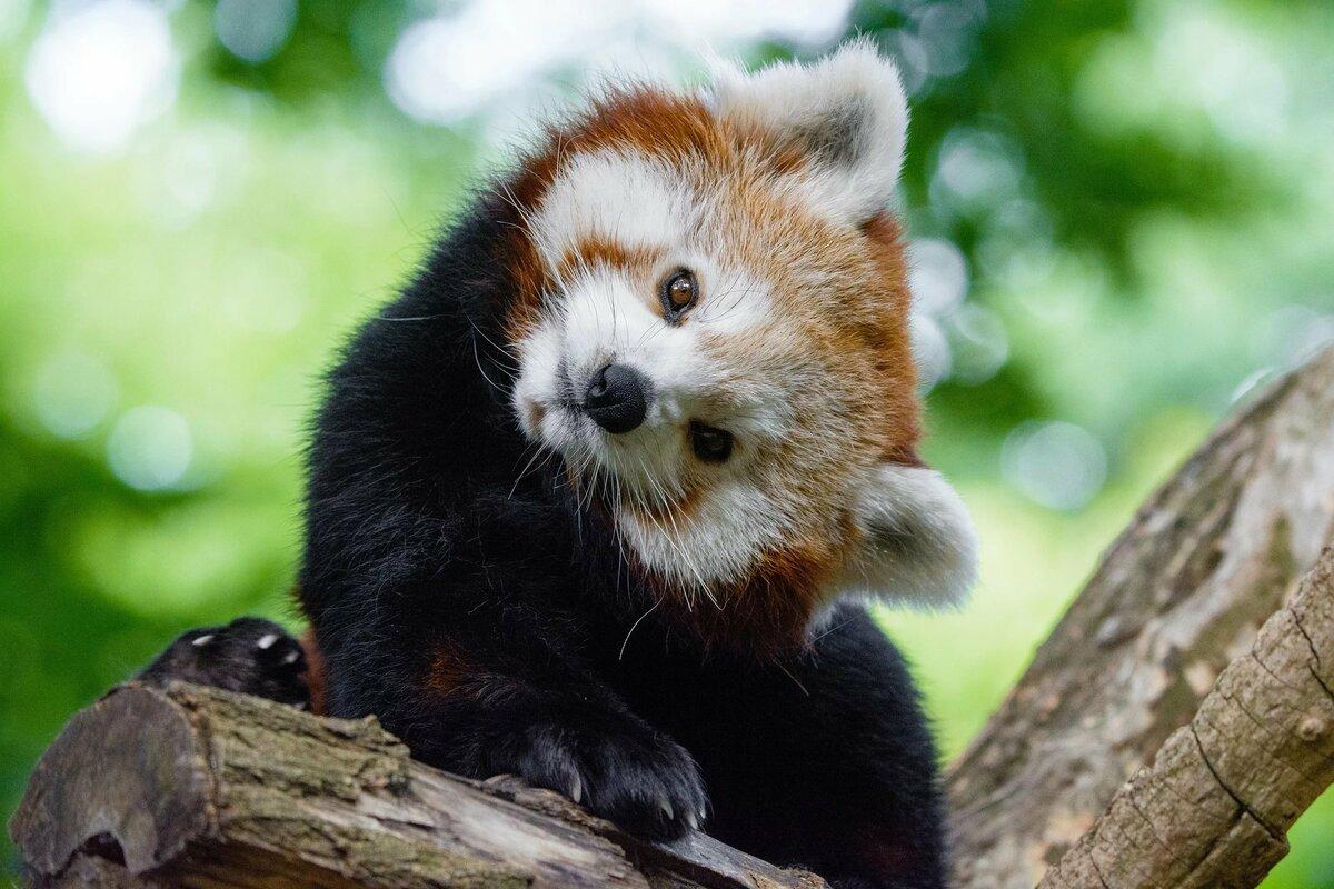 Малая красная панда картинки