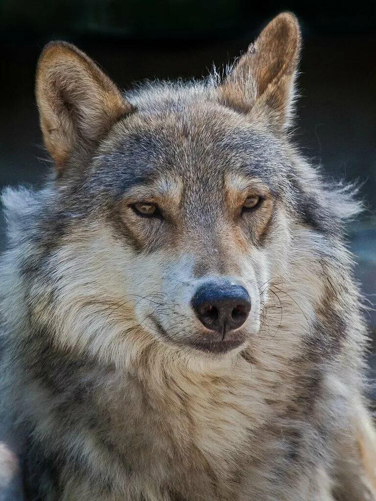 запрещающий жест, слезы волка фото необходимым