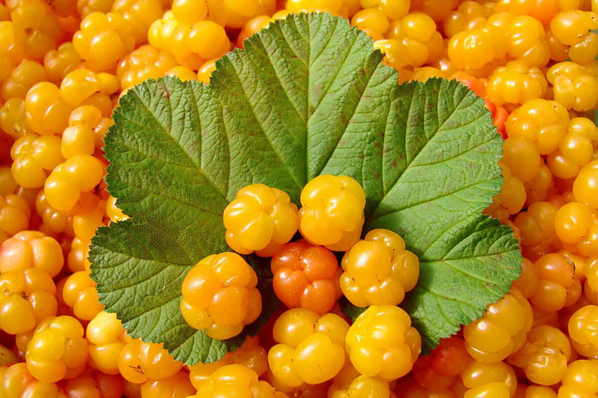 картинка ягод морошки