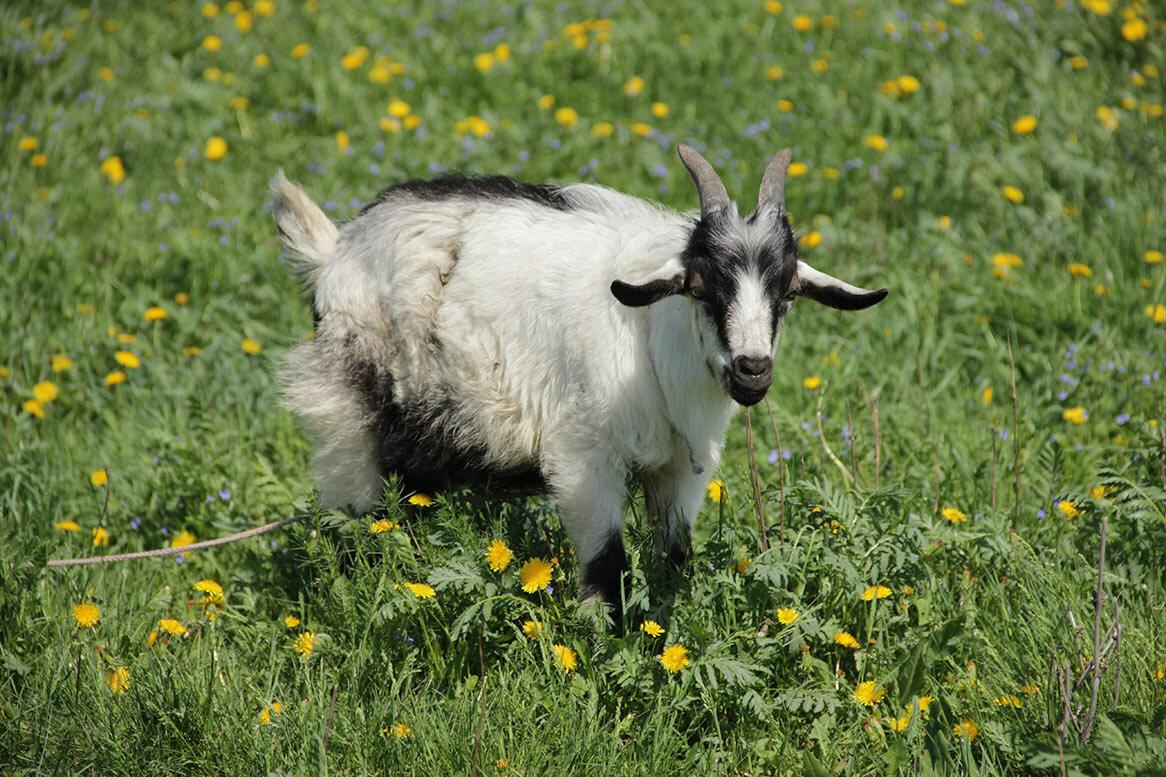 картинки козы картинки козы этом предполагается, что