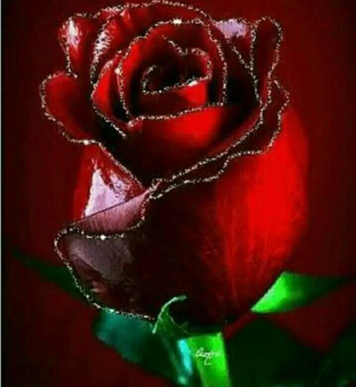 картинки живые красные розы опять