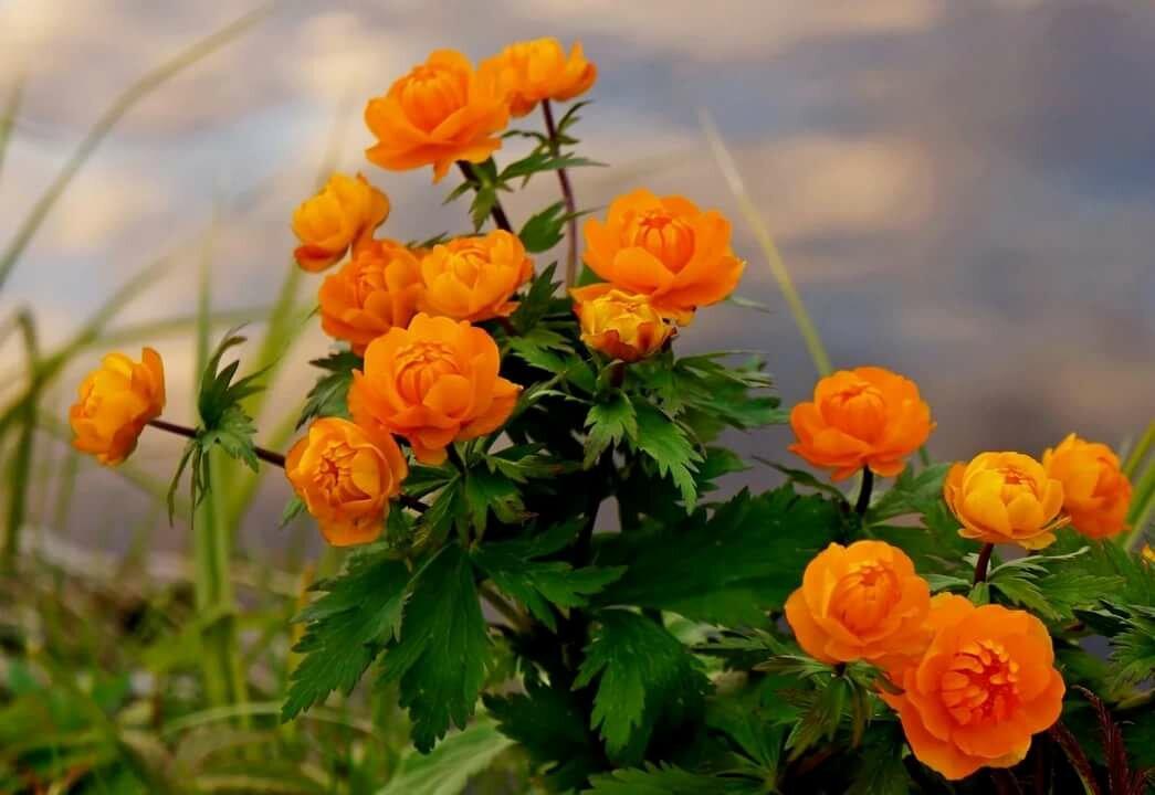 цветы жарки сибирские фото ритейлера