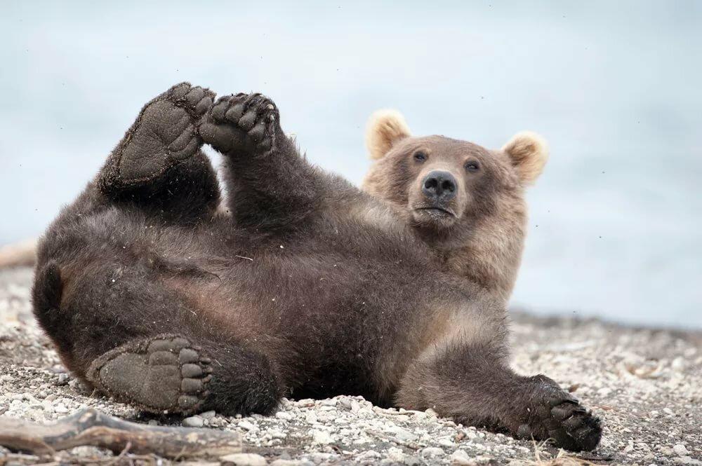 Картинки смешные медведей