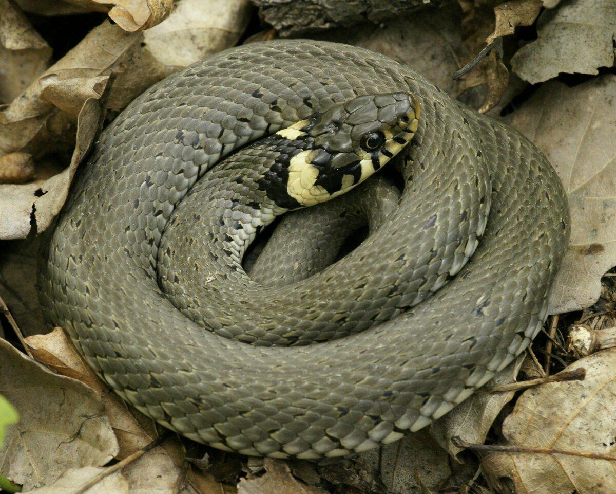 Разновидности змей в картинках