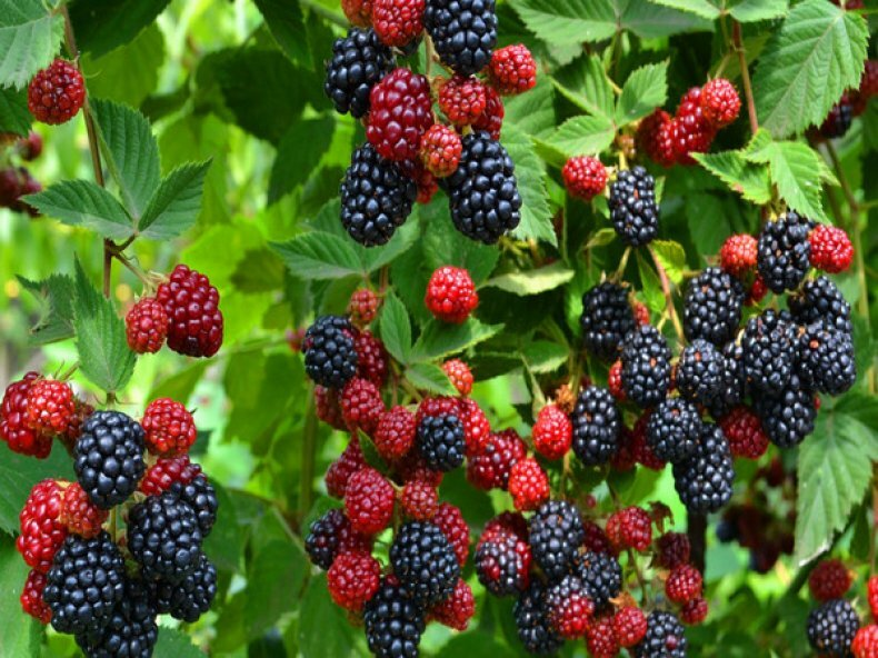 помощи садовые ягоды фото и названия записаться врачу