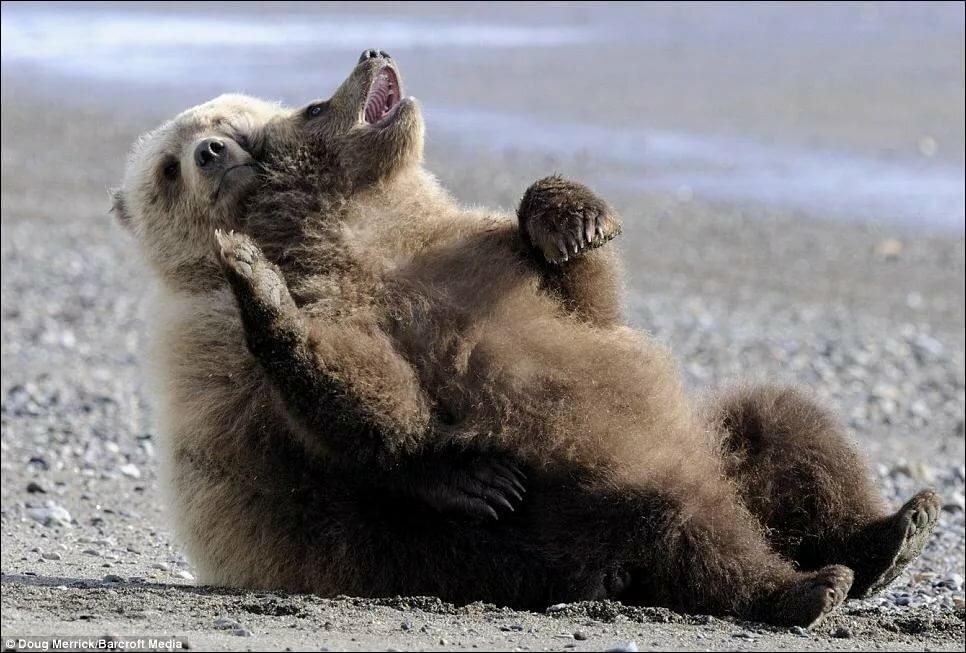 Картинки про медвежат смешные, картинка