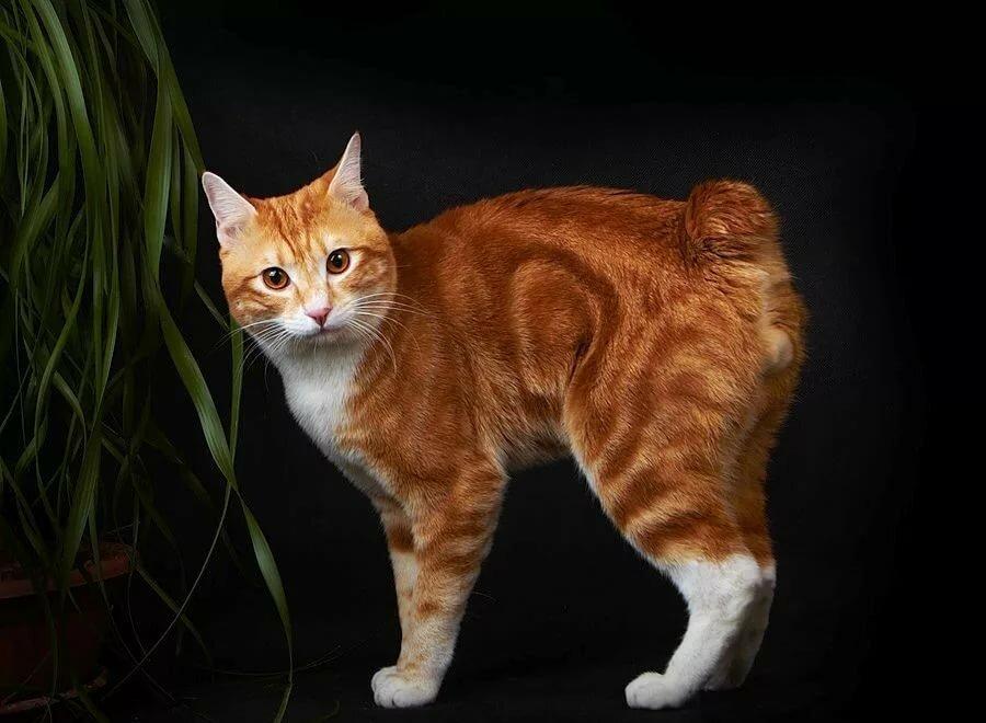 все бобтейл коты характер новом году желания