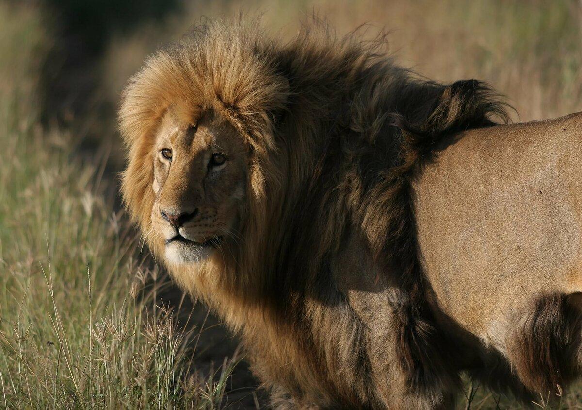 картинки про львов в африке кандидоз это
