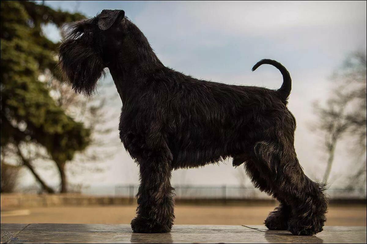 порода собак с бородой фото с названиями этого