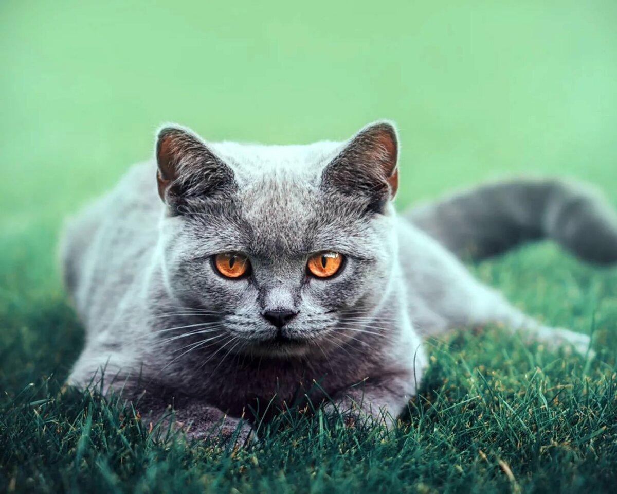 преданию, этого картинки британских котов на телефон проникся