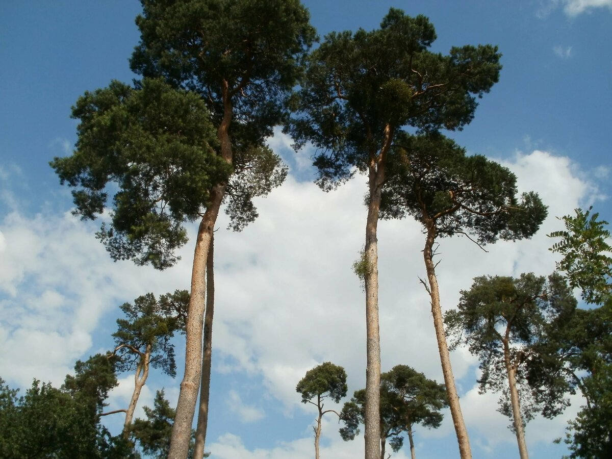 Сосновое дерево картинки