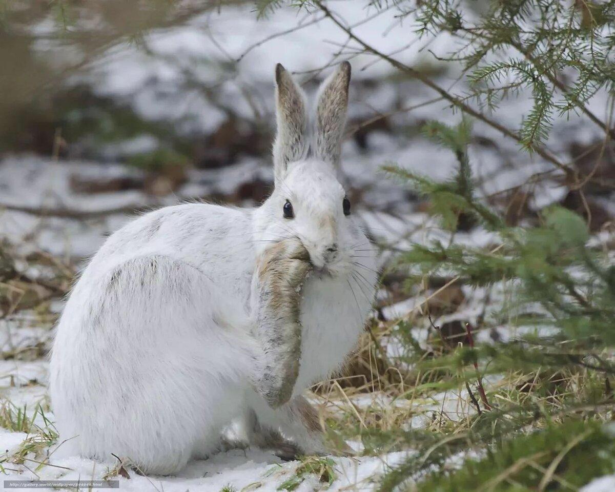 трахнул фото заяц зайчата зимой попытки установить